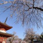埼玉県の寺院と桜の画像